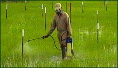 Besproeiing van rijstveld in Suriname (bron: www.adron.sr)