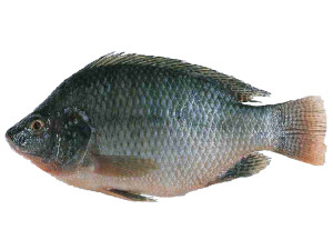 Tilapia (bron: www.fishwallpapers.com)