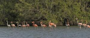 Flamingo's in Suriname (foto: Tania van Velthuizen)