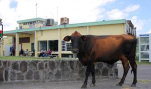 Koeien op straat in Sint-Eustatius