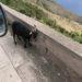Geiten op Saba