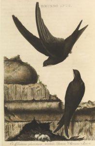 Bonaire gierzwaluw
